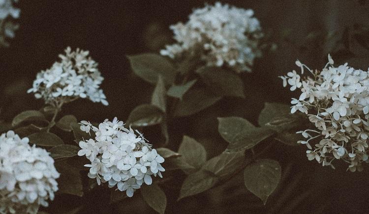 night jasmine flower plant | flower plants