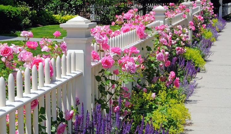 rose plant | rose flower plant