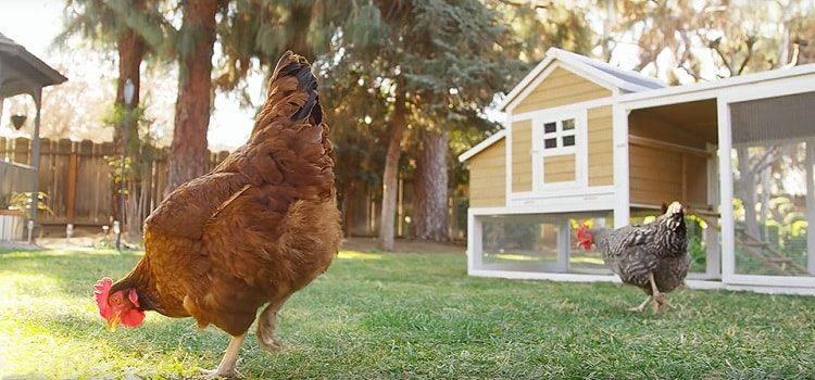 Chicken Back Garden